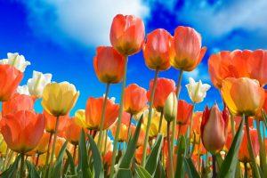 Portada-Primavera-Tulipanes-Pixabay-1600x-s3251607-(1)-min