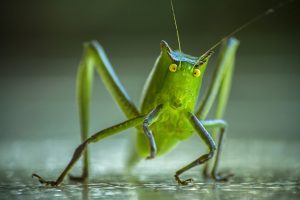 Portada-Grillo-Bicho-Cricket-Foto Roos Rojas-Pixabay-1600x-(1)-(1)